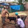 शक्तिपीठ राजदेवी मन्दिरमा १५ हजार बोका बलि