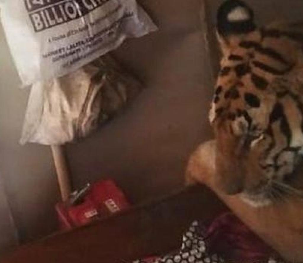 घरको ओछ्यानमा आराम गर्न जब बाघ आइपुग्यो