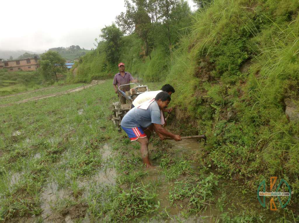 lokendra_dhan_kheti (7)