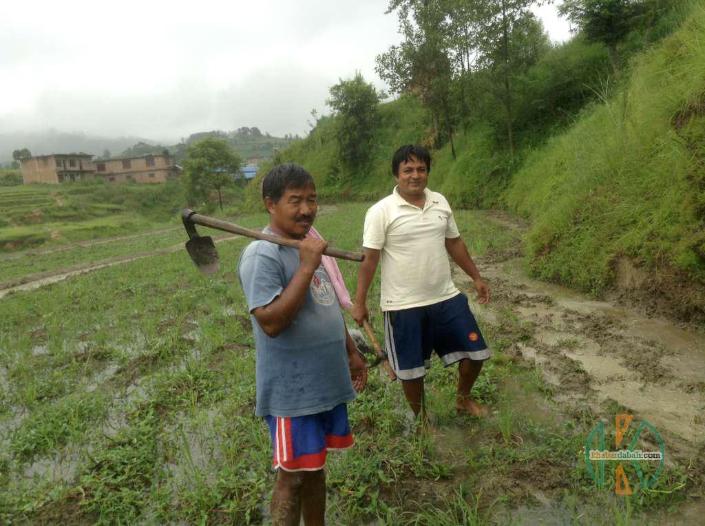 lokendra_dhan_kheti (8)