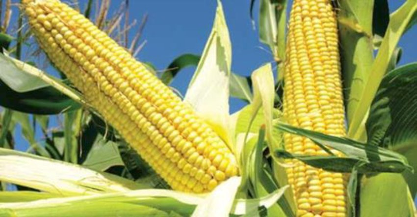 makai_corn-850