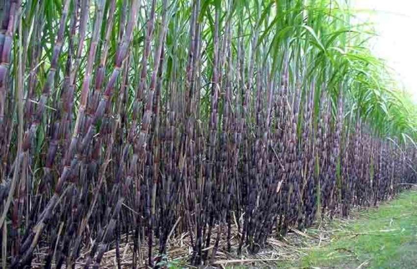 ukhu_sugarcane-850