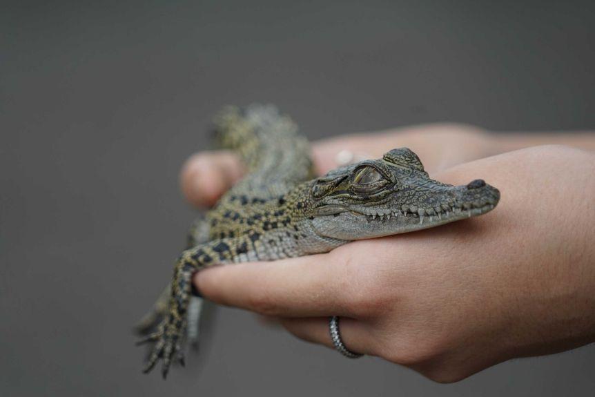 baby crocodile gohe