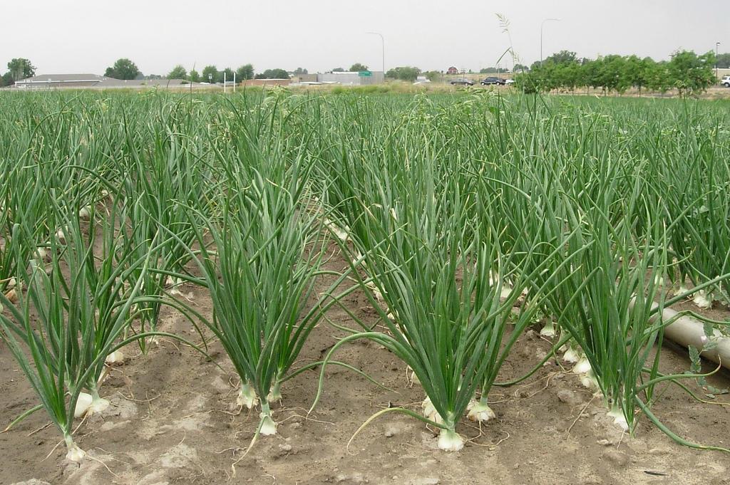 green_onion_pyaj