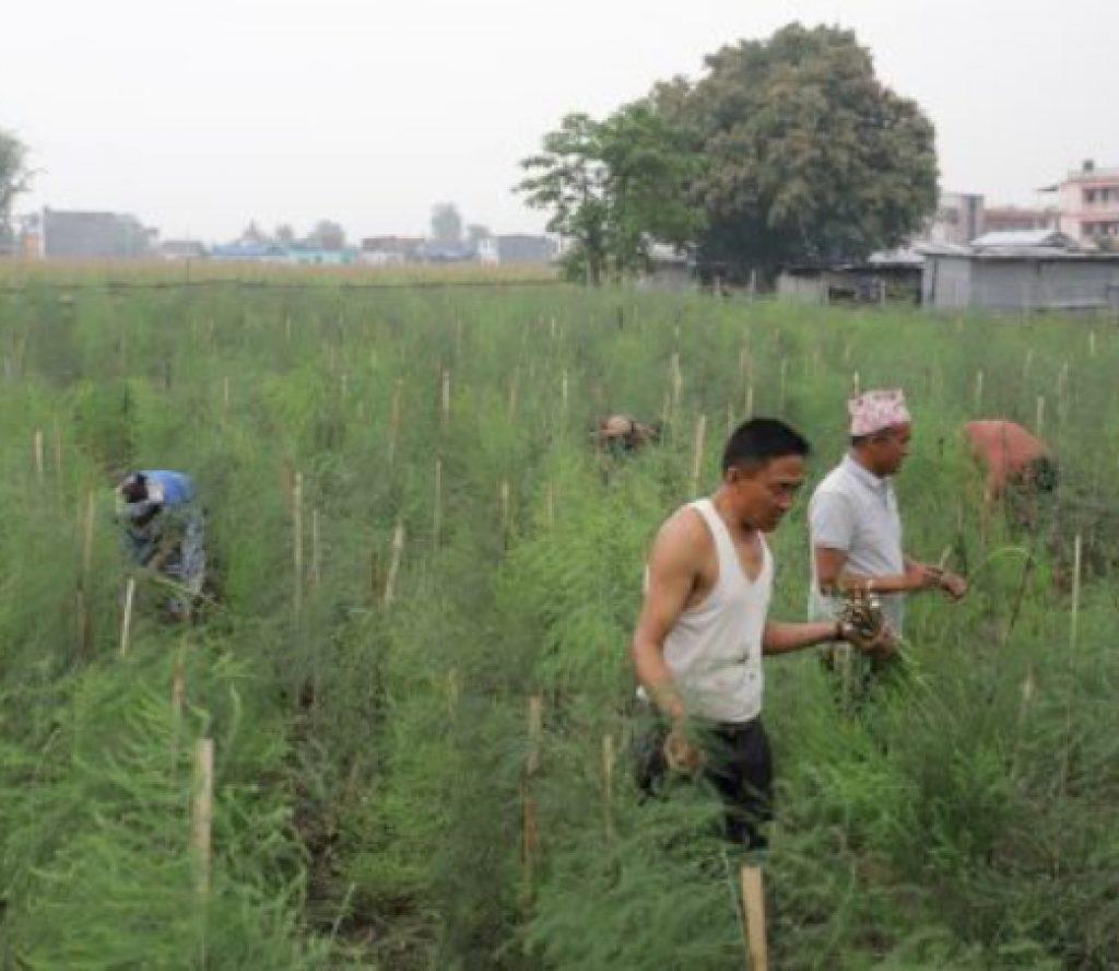 कुरिलो खेतीमा कृषकको आकर्षण बढ्दो