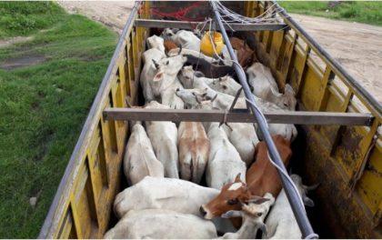 दिनहुँ निकासी, कहिलेकाहीँ नियन्त्रणः ३० वटा गाईगोरुसहित समातियो ट्रक