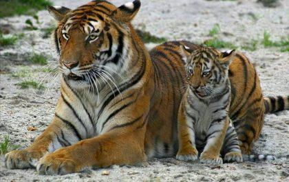 विभिन्न कारणबाट राष्ट्रिय निकुञ्जका ११ बाघ मरे