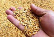 धान किसान निराश : बीउ अभाव कायमै